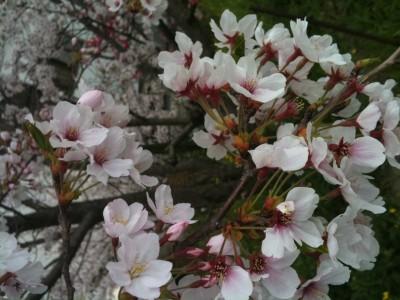 桜咲く、ローズクォーツ